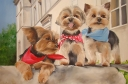 Yorkshire Terriers Mistral, Roulette & Junior en France